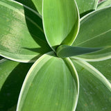 Variegated Foxtail Agave - C&J Gardening Center