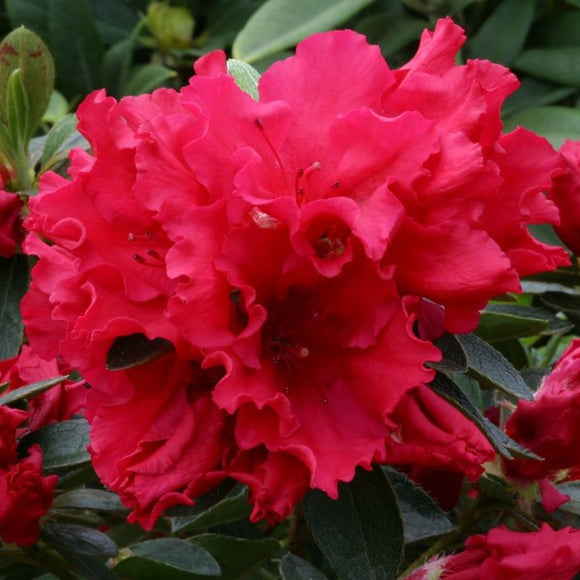 Red Shade Azalea - C&J Gardening Center