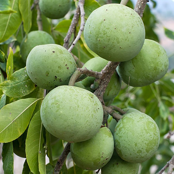 Suebelle Sapodilla - C&J Gardening Center