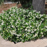 Star Jasmine Shrub - C&J Gardening Center