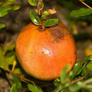 Utah Sweet Pomegranate - C&J Gardening Center