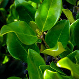 Japanese Privet - C&J Gardening Center