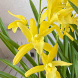 Fully Yellow Boat Orchid - C&J Gardening Center
