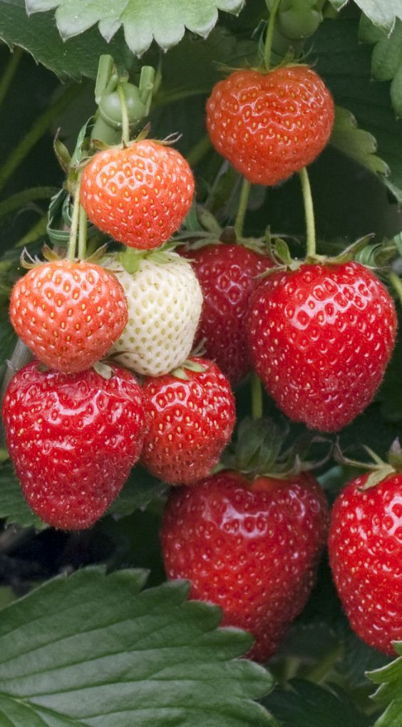 5 Health Benefits of Strawberries