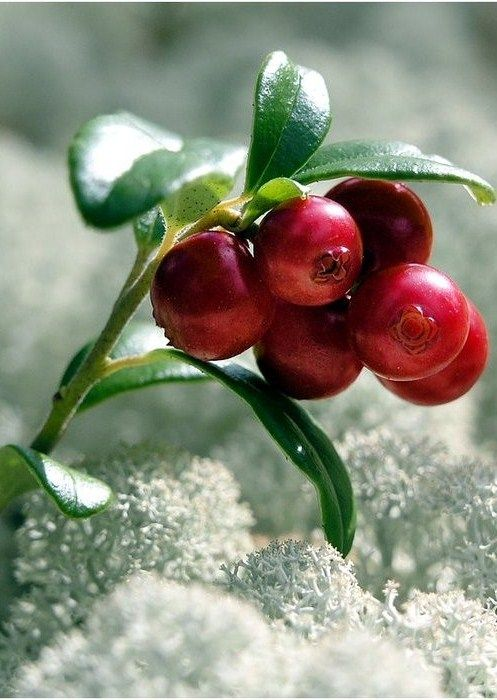 wild scandinavian lingonberries