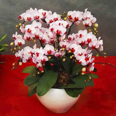 Image of Phalaenopsis Bonsai Flower Seeds