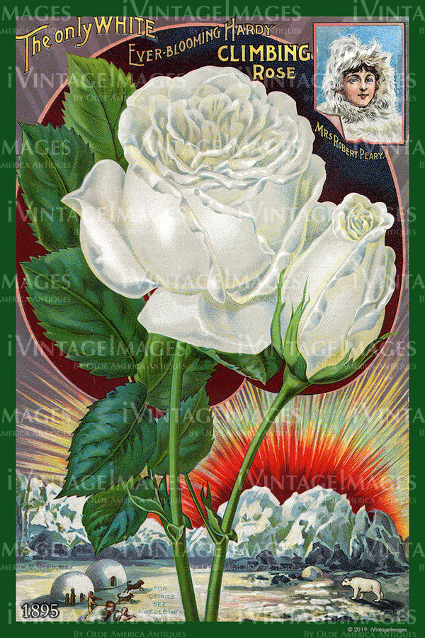 Climbing Rose Flower Seeds 1895 - 030