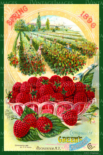 Greens Nursery Raspberries 1896 - 004