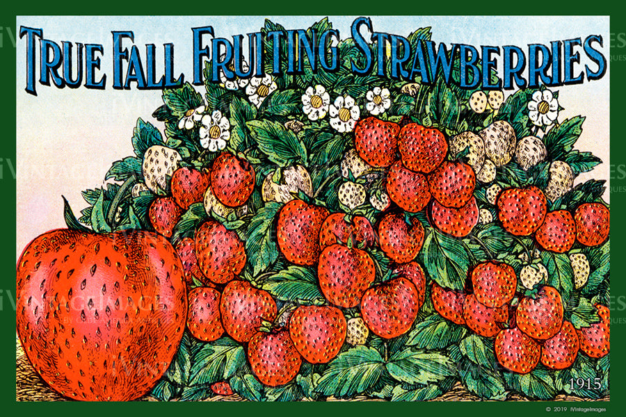 Fall Strawberries 1915 - 030