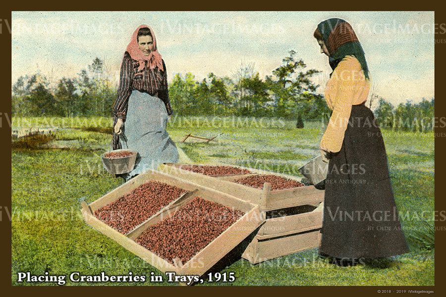 Placing Cranberries Postcard 1915 - 076