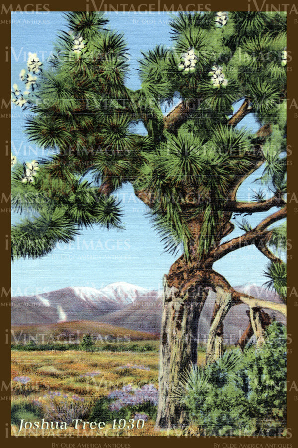 Joshua Tree Postcard 1930 - 7