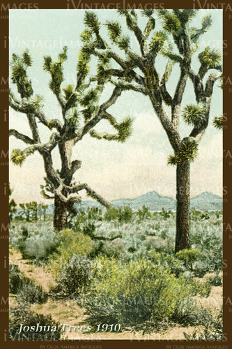 Joshua Tree Postcard 1910 - 8