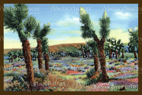 Joshua Tree Postcard 1930 - 9