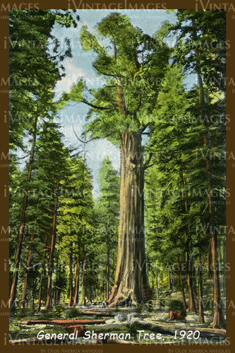 Sequoia Postcard 1920 - 9