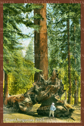 Sequoia Postcard 1925 - 15