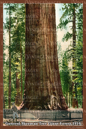 Sequoia Postcard 1910 - 17