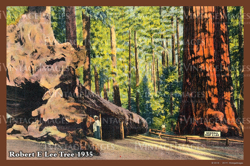 Sequoia Postcard 1935 - 24