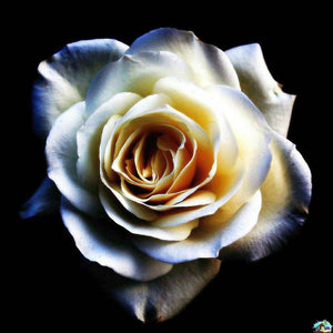 White American Rose Diamond Painting