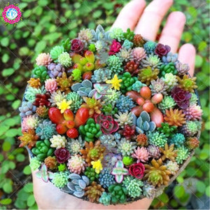 Rainbow Colored Succulent Seeds