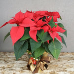 HX-20 Red Poinsettia Planter
