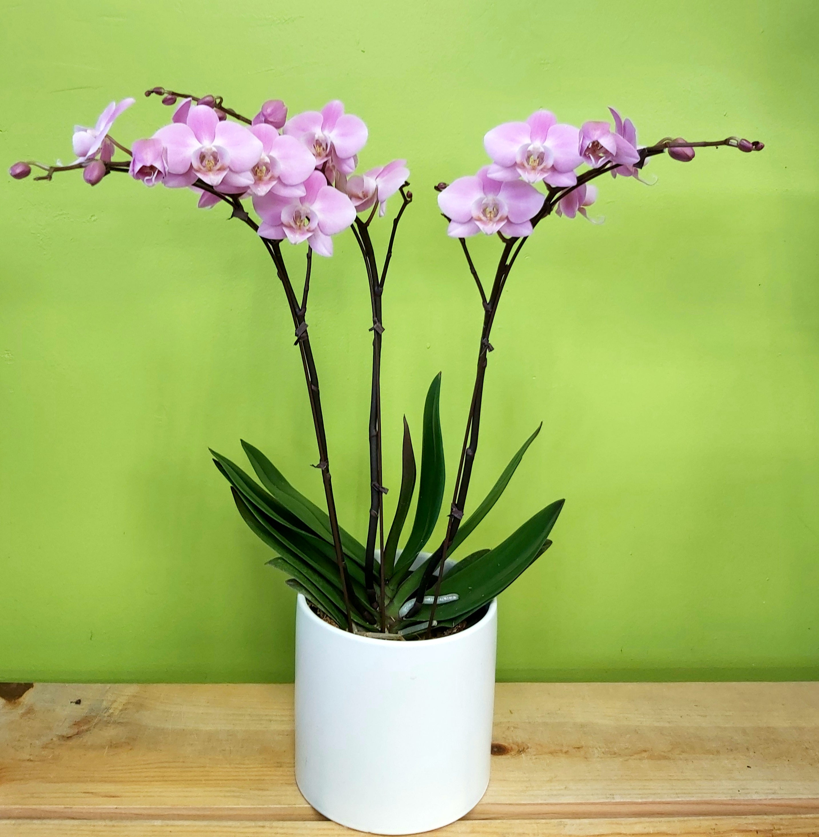 HO-10 Three Stems Pink Orchid Plant