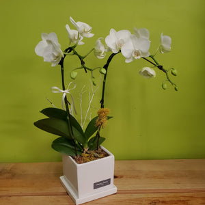 HO-15 Pure White Orchid in a Ceramic Pot