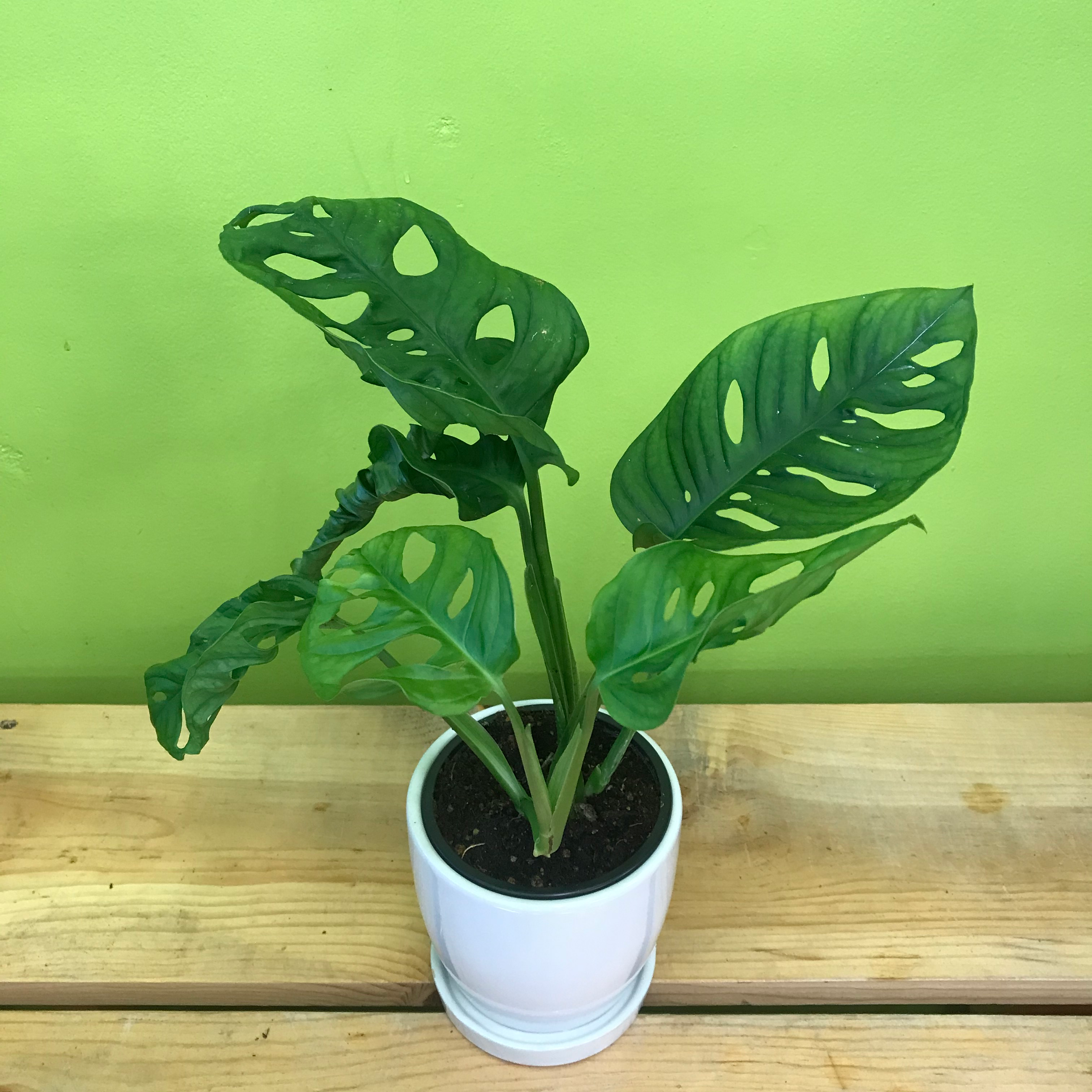 HP-92 Monstera Monkey Mask Plant