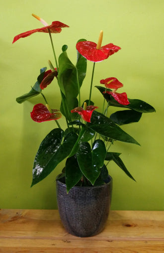 HP-031 Anthurium Plante