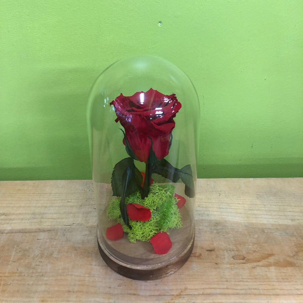 HD-27 Beauty and the Beast Preserved Rose