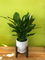 HP-018 Peace Lily Plant