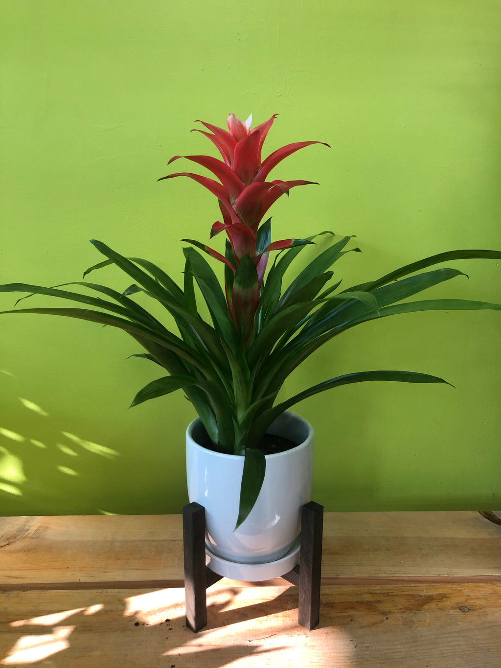 HP-011 Bromelied Plant