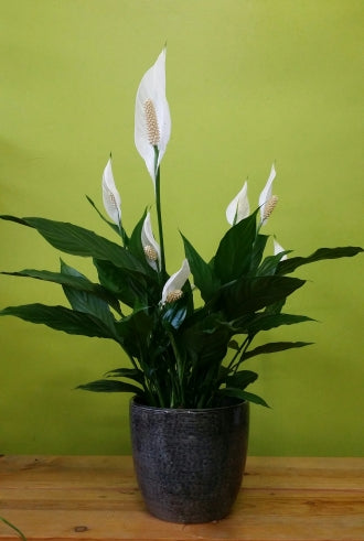 HP-18 Peace Lily Plant