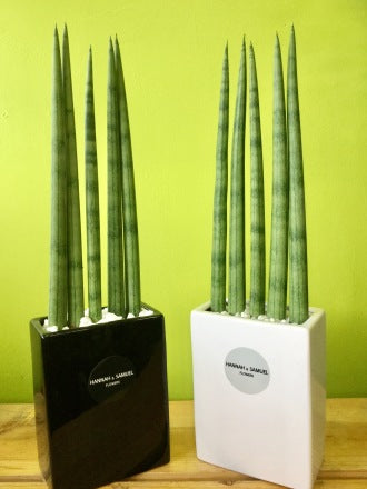 HP-040 Sansevieria Stuckyi - Large