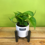 HP-78 Golden Pothos Plant