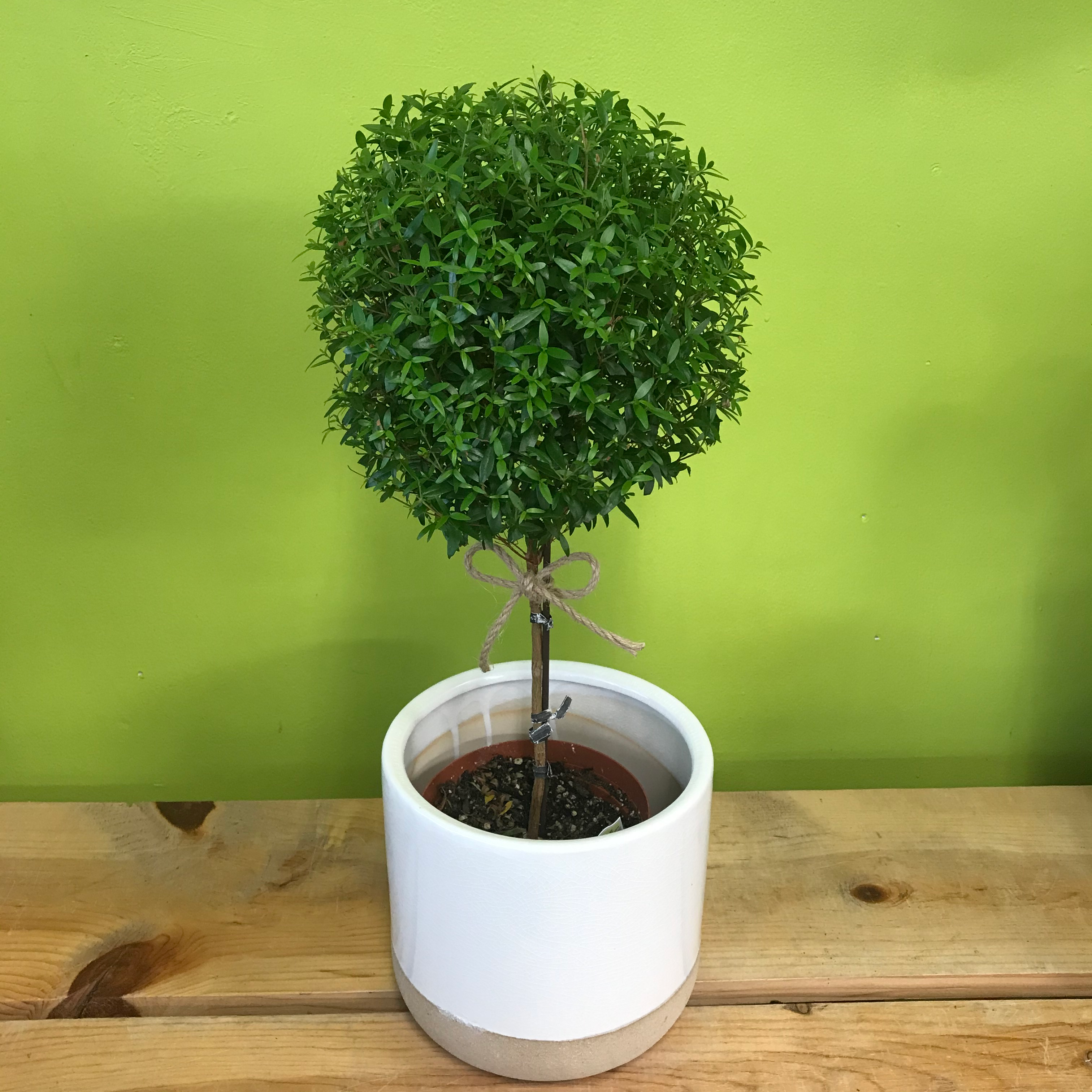 HP-71 Large Myrtle Tree