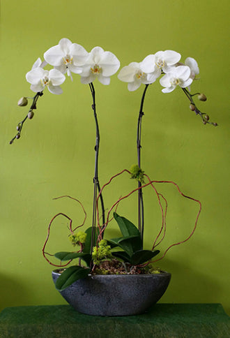 HO-01 Two Stems White Orchid Plant