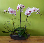 HO-03 Three stems orchid plant