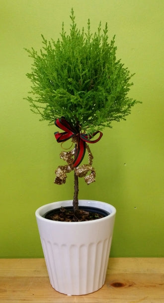 HX-10 Cypress Topiary