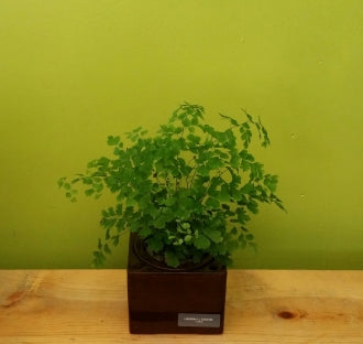 HP-59 Maidenhair Fern Planter