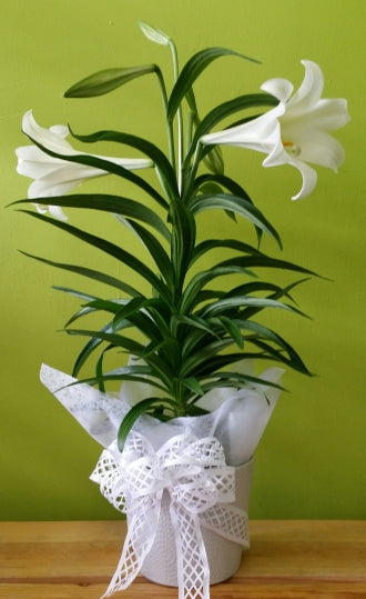HP-45 Easter Lily