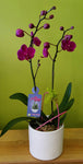 HO-02 Fuchsia miniature orchid in a ceramic pot
