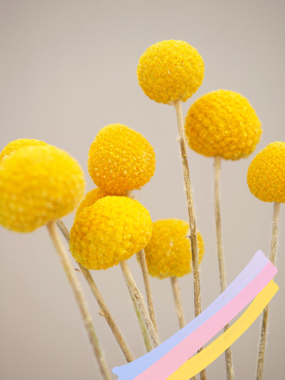 Bunch of Dried Craspedia (Billy Buttons)
