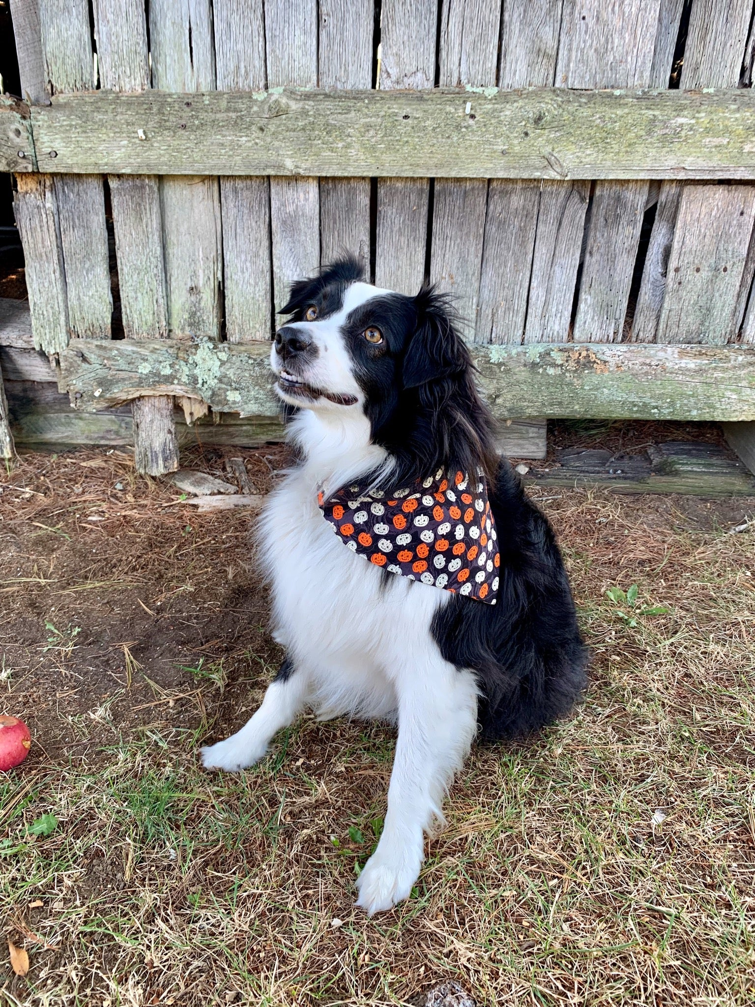 Pumpkin Dog Bandana