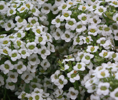 Alyssum White Carpet of Snow Seeds - Lobularia Maritima