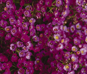 Alyssum Oriental Nights Seeds - Lobularia Maritima