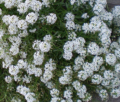 Alyssum Tiny Tim Seeds - Lobularia Maritima