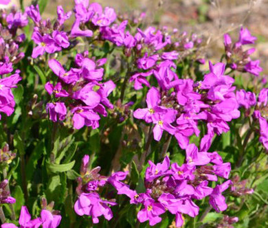 Arabis Wall Rock Cress Spring Charm Seeds - Arabis Blepharophylla