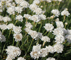 Armeria White Sea Thrift Seeds - Armeria Maritima