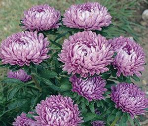 Aster Dwarf Milady Lilac Seeds - Callistephus Chinensis