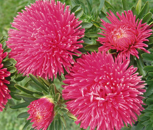 Aster Gremlin Double Dark Rose Seeds - Callistephus Chinensis